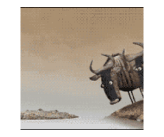 Wildebeest migration.Maasai mara