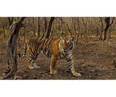 Ranthambhore Tiger Safari