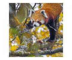 Red Panda Tour with Tiger Safari India
